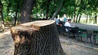 Photo of Zeci de mii de copaci din București, tăiați în timpul domniei lui Firea! PMB nu știe câți au fost plantați în loc