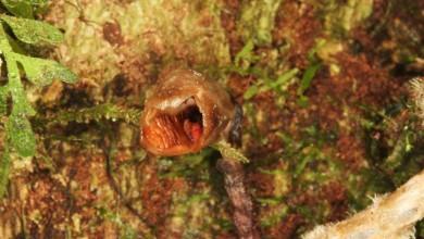 Photo of O, ce veste neplacută: cercetătorii britanici au descoperit cea mai urâtă orhidee din lume. E strâmbă și maronie