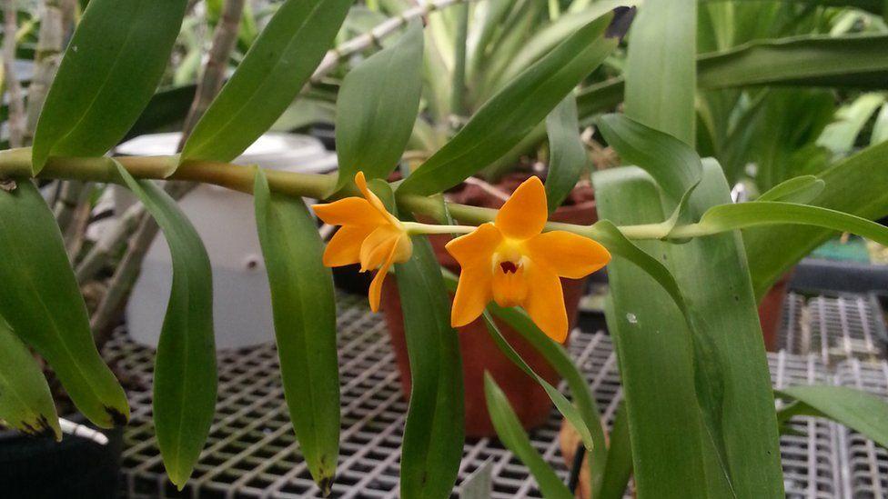 Una dintre noile specii de orhidee descoperite în Noua Guinee