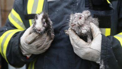 Photo of Imaginea zilei: doi iepurași salvați azi de pompieri dintr-un apartament în flăcări din București