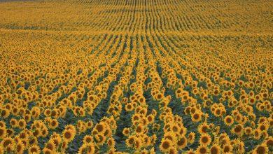 Photo of România rămâne lider în topul producătorilor de floarea-soarelui din Uniunea Europeană