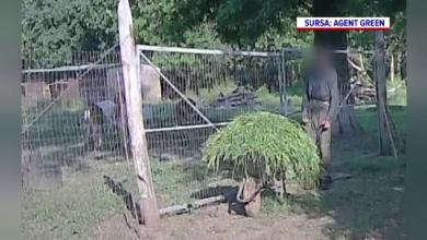 Photo of Agent Green acuză că mai mulți cerbi lopătari ar fi ținuți în mod ilegal într-un complex de vânătoare de lângă București