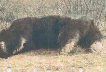 Photo of Cel mai mare urs din România a fost împușcat. Prinț din Liechtenstein acuzat de braconaj. Reacțiile autorităților
