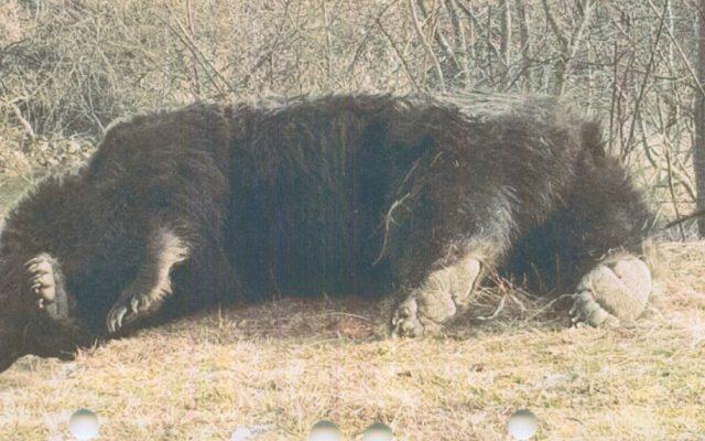 Cel mai mare urs din România a fost împușcat
