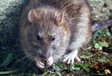 Photo of Problema rozătoarelor din București continuă – o familie s-a trezit cu un șobolan în pat