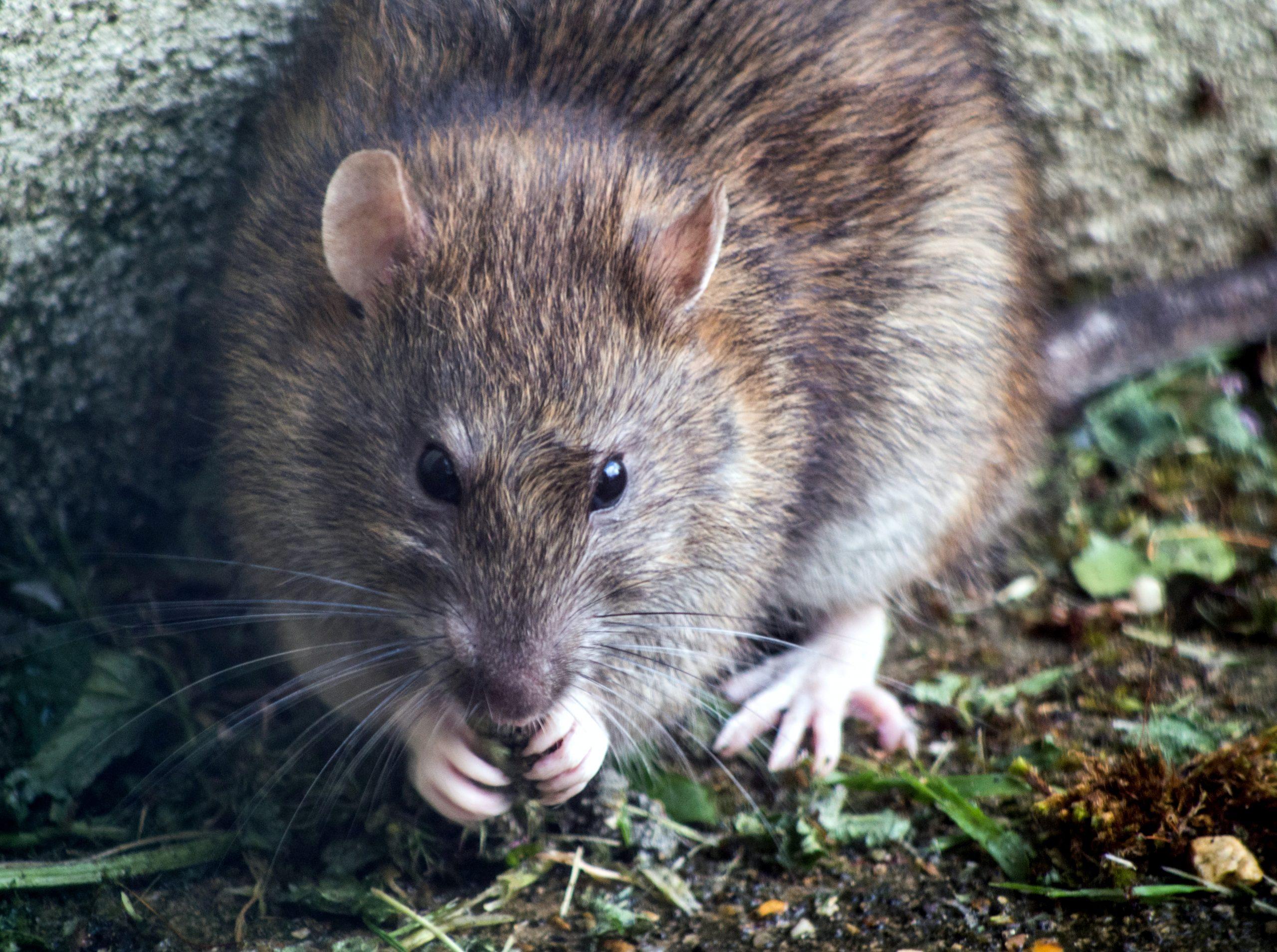 șobolan bucurești