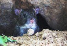 Photo of Cîțu, despre Bucureștiul plin ochi de șobolani: Responsabilitatea este la autoritățile locale