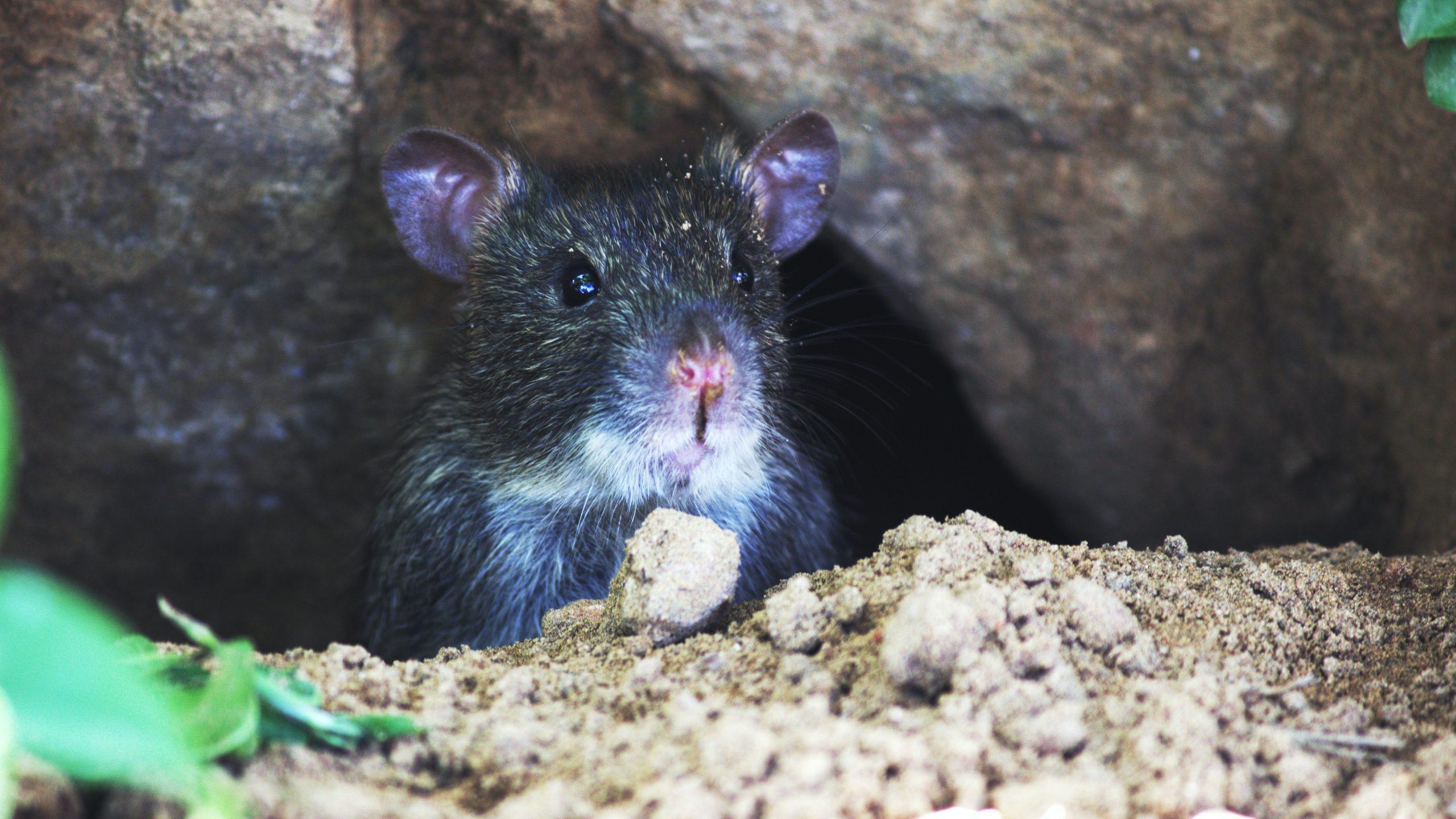 Cîțu, despre Bucureștiul plin ochi de șobolani: Responsabilitatea este la autoritățile locale