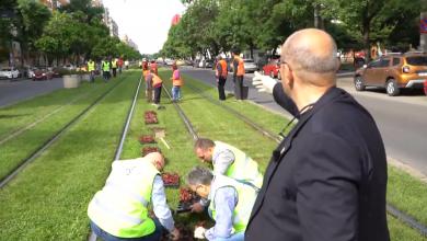 """Photo of Piedone a ieșit pe teren să planteze begonii donate de Negoiță. Primarul Sectorului 5 nu lasă pe nimeni să stea: """"fiecare sapă groapa lui!"""" VIDEO"""