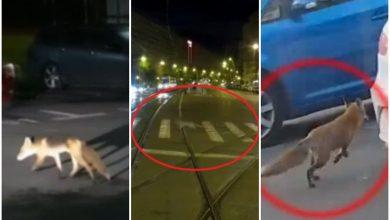 Photo of Vulpi filmate pe străzile din Capitală. Se plimbau în zona Baicului, fără griji. Ce spun specialiștii VIDEO