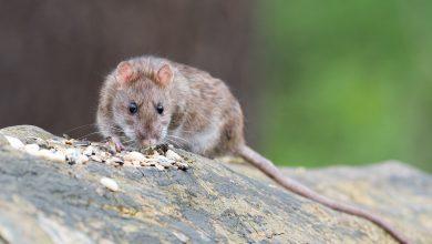 Photo of Bucureșteanul mușcat de șobolan în Piața Romană nu a putut să depună plângere la Primăria Sectorului 1. Funcționarii l-au luat peste picior