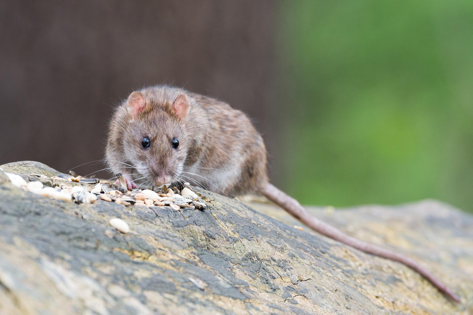 Bucureșteanul mușcat de șobolan în Piața Romană nu a putut să depună plângere la Primăria Sectorului 1. Funcționarii l-au luat peste picior