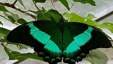 Photo of Fluturaș, fluturaș! Expoziție de fluturi tropicali începând de sâmbătă la muzeul Antipa. Cât costă biletul