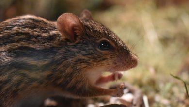 Photo of Cum se descurcă marile orașe ale lumii cu șobolanii. Ce poate învăța Bucureștiul de la aceste metropole