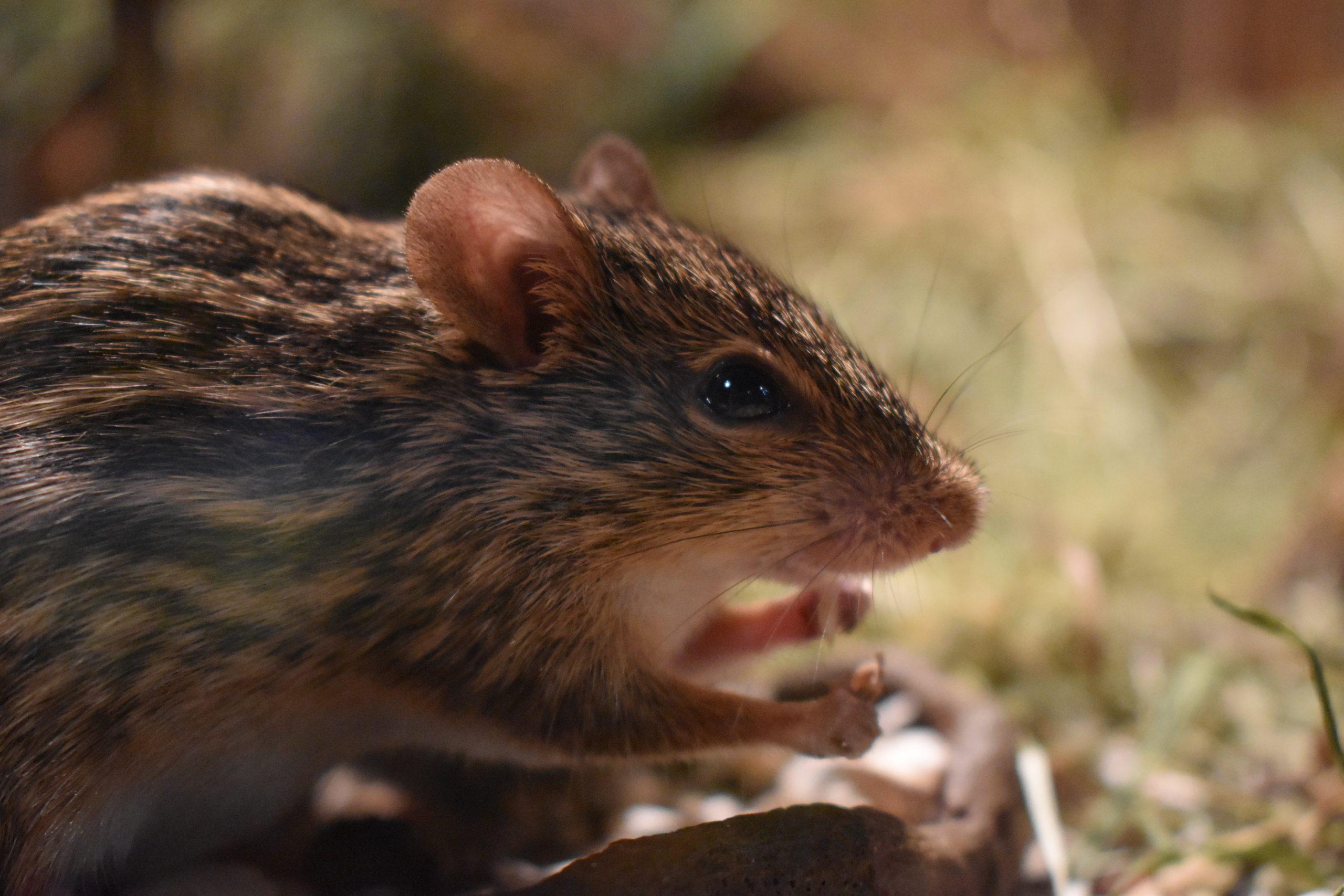 șobolanii