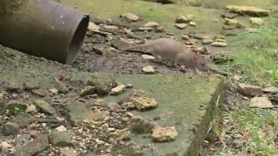 Photo of Un bucureștean a fost mușcat de un șobolan în zona Piața Romană. Ce boli pot transmite șobolanii