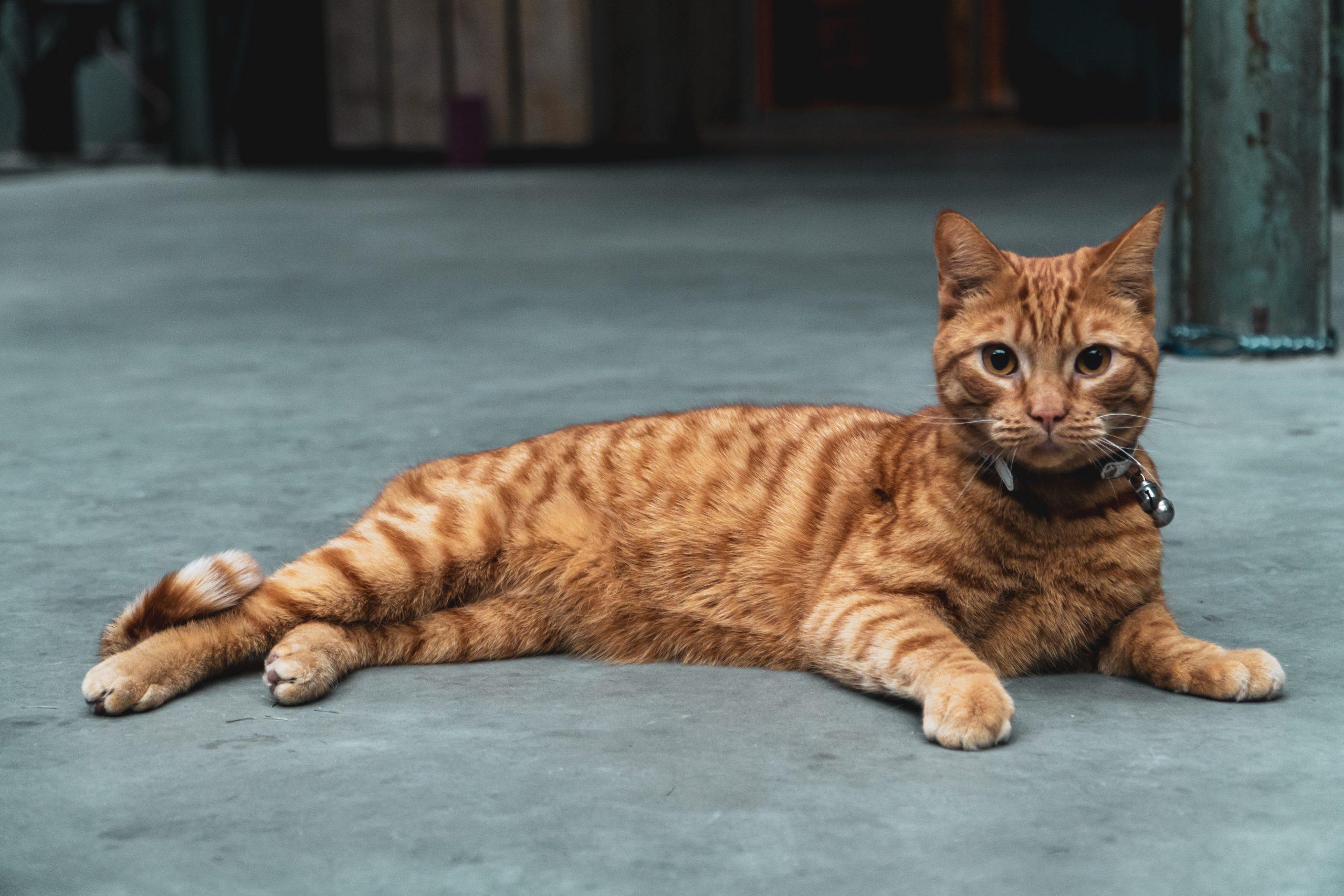 Pisica salvatoare. Felina i-a salvat viața stăpânului său, cerând ajutorul vecinilor