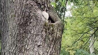 Photo of Apariție unică în Parcul Mogoșoaia. O veveriță complet albă a uimit pe cei care au văzut-o. Animalul suferă de o mutație genetică rară
