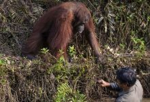 Photo of Cine nu are-un urangutan să-și cumpere! Imagini emoționante cu animalul care vrea să îl protejeze pe omul venit să îl ajute | FOTO