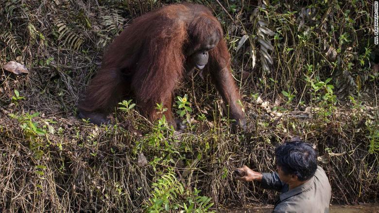 Cine nu are-un urangutan să-și cumpere! Imagini emoționante cu animalul care vrea să îl protejeze pe omul venit să îl ajute   FOTO