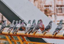 Photo of Bucureștiul le priește porumbeilor și ciorilor. De ce sunt, de fapt, tot mai multe păsări în Capitală