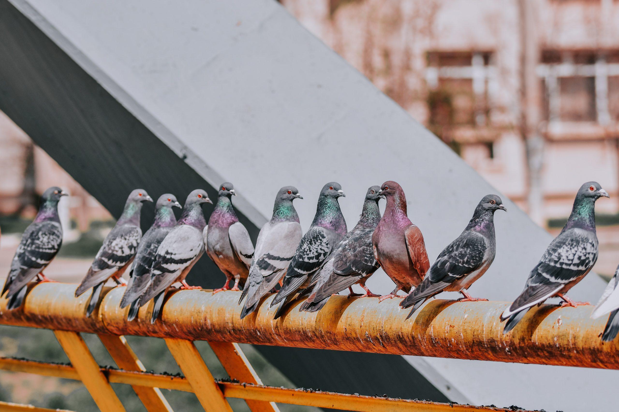 Bucureștiul le priește porumbeilor și ciorilor. De ce sunt, de fapt, tot mai multe păsări în Capitală