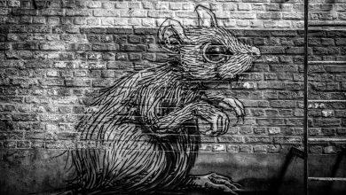 Photo of Primăria Capitalei continuă lupta cu șobolanii. Începe al treilea tratament de deratizare