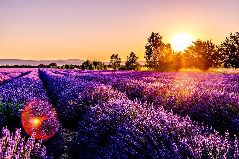 Lavanda - Bogăţie de Sănătate şi Frumuseţe în Grădina Ta (P)